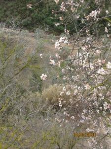 Amond blossom
