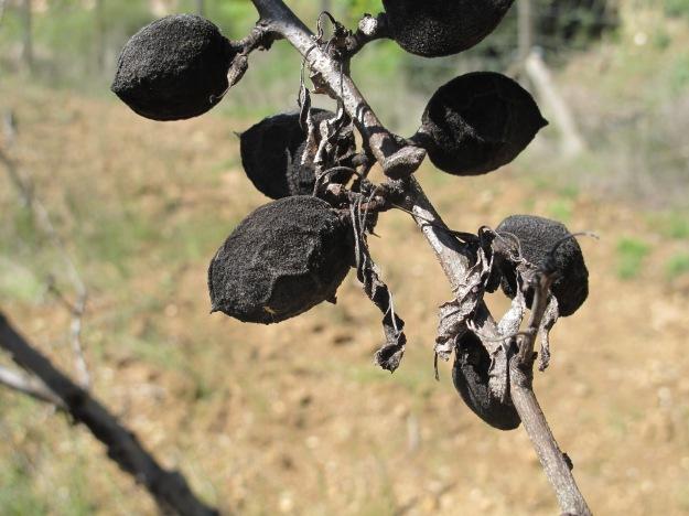 dead almonds 13-3-13