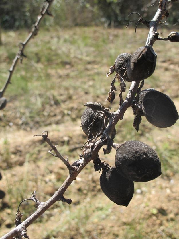 dead almonds2 13-3-13