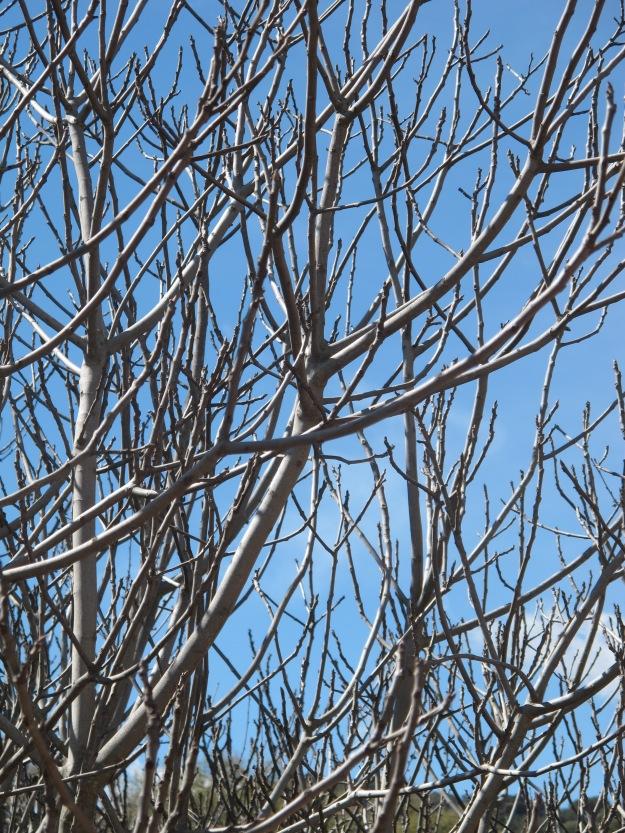 fig tree 13-3-13