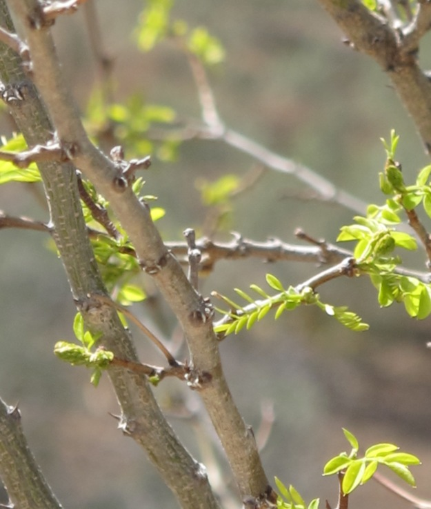 new leaves on tree - march