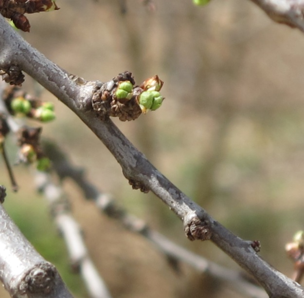 spring buds on tree