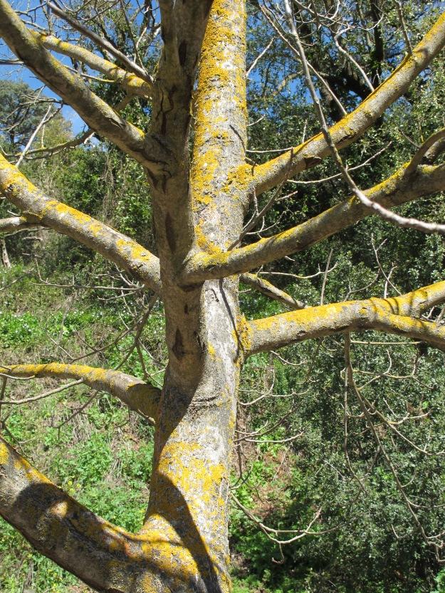 walnut tree1 13-3-13