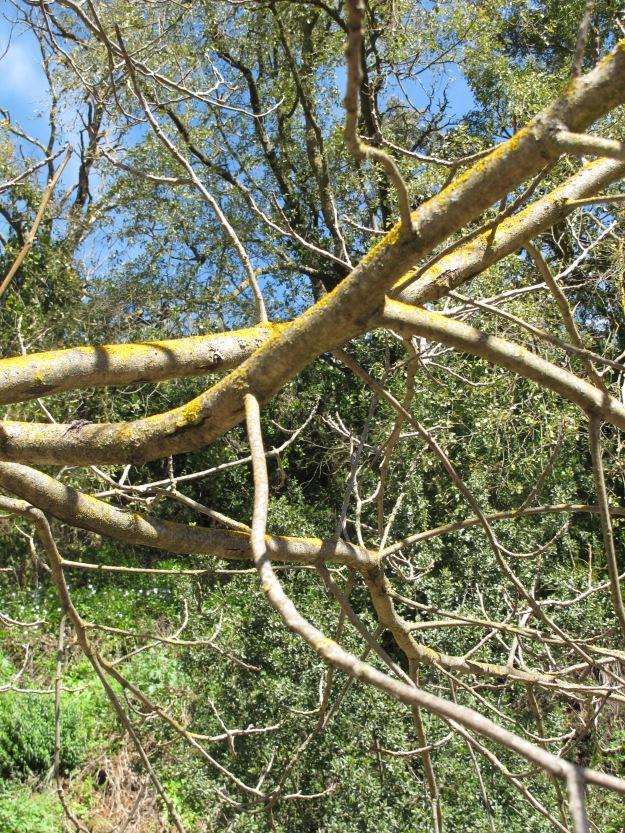 walnut tree3 13-3-13