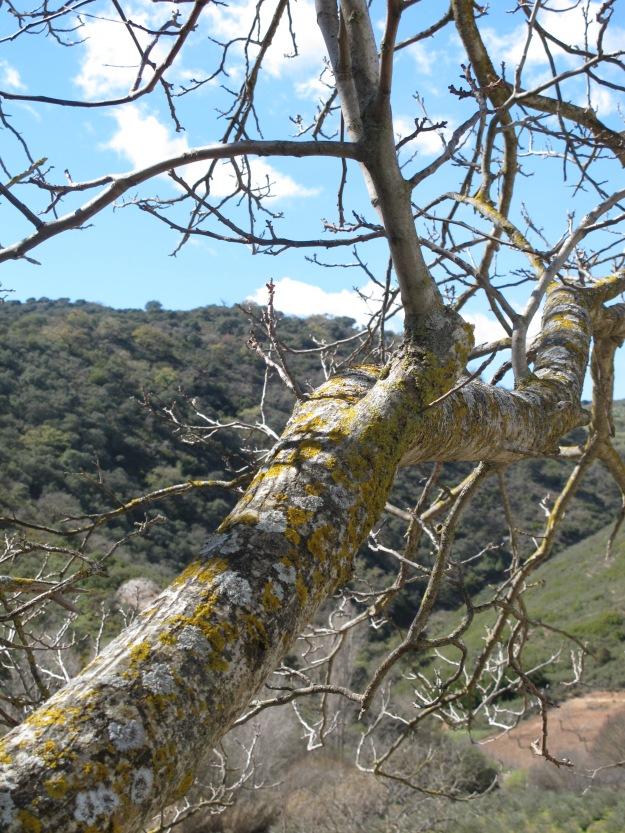 walnut tree4 13-3-13