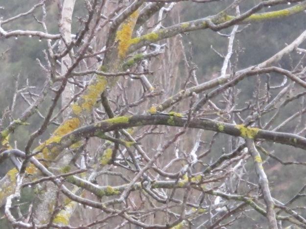 wet walnut1 17-3-13