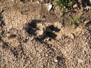 wild pig tracks1 15-3-13