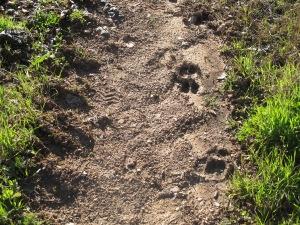 wild pig tracks2 15-3-13 (2)