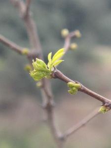 acacia bud1 26-3-13