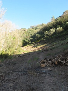 felled olive trees1 15-3-13