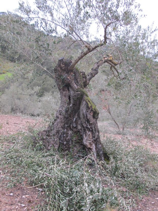 old olive tree pruned2 24-3-13