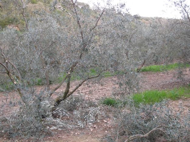olive tree pruned 24-3-13