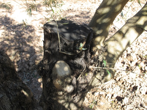 olive trees pruned2 15-3-13