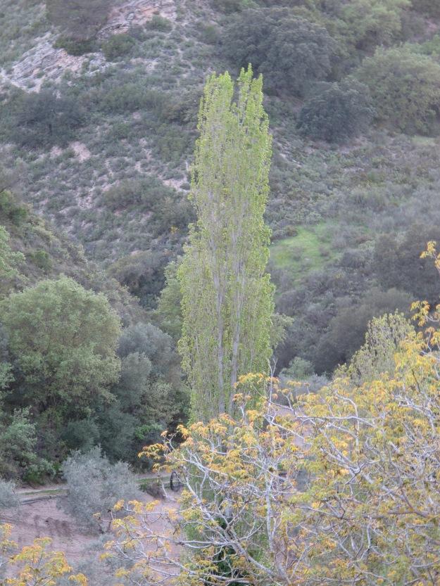 poplar - greening up 17-4-13