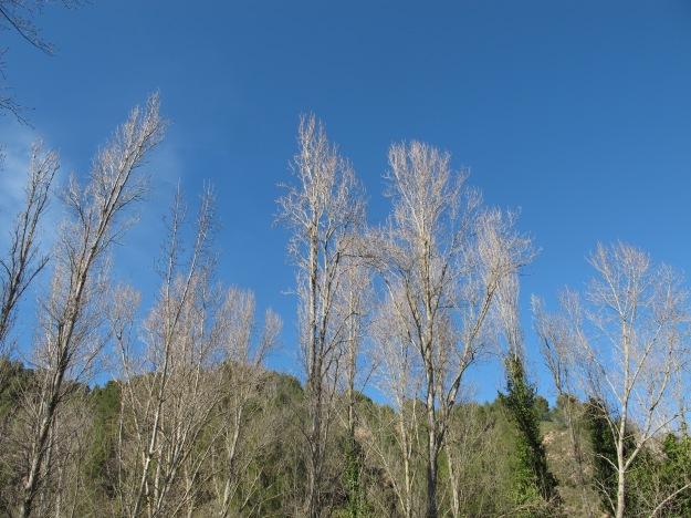 poplars1 15-3-13