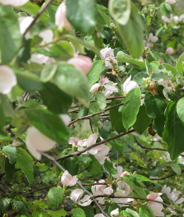 quince blossom in april 14-4-10