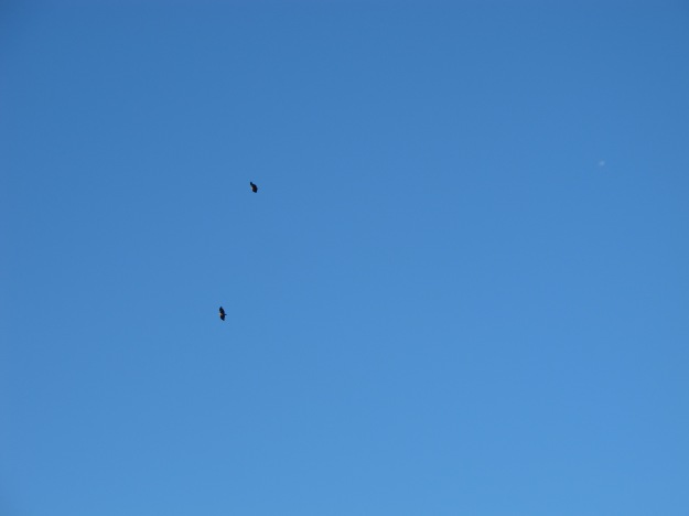 Two Griffon vultures, circling on thermals high above
