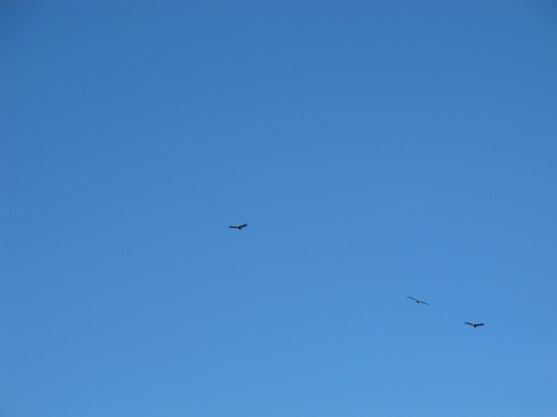 Sometimes up to 100 vultures can circle overhead