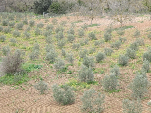 wildflowers in the olive grove 17-3-13