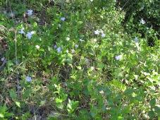 wildflowers - vinca 15-3-13