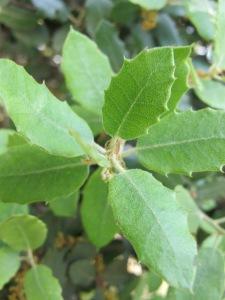 holm oak - new leaves after catkins 1-5-13