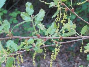 holm oak - spring catkins1 16-4-13