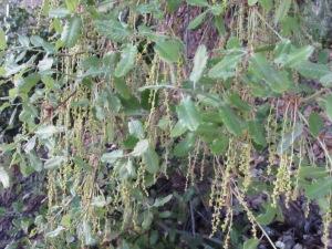 holm oak - spring catkins3 16-4-13