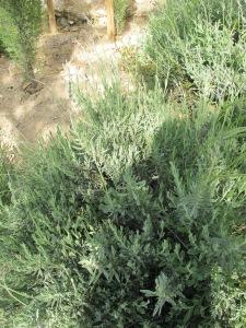 lavender 1-5-13