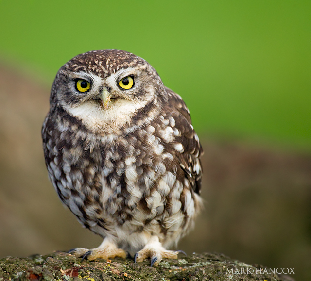 The Fluffiest Little Owl Notes On A Spanish Valley