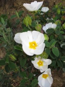 white rock rose 16-4-13