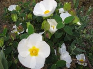 white rock rose2 16-4-13