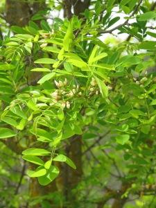 acacia blossom1 26-4-13