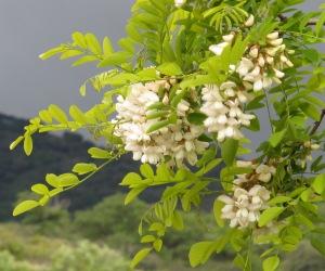 acacia blossom1 28-4-13
