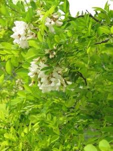 acacia blossom2 26-4-13