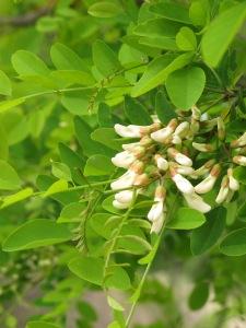 acacia blossom3 26-4-13