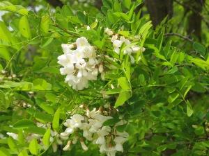 acacia blossom5 26-4-13