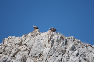 Griffon vultures: natural justice [photo: Daniel May]