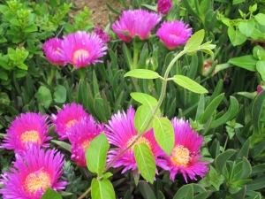 higo - flowering1 1-5-13