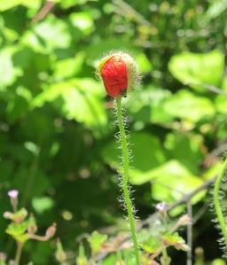 poppies in the almond field - unfurling 11-6-13