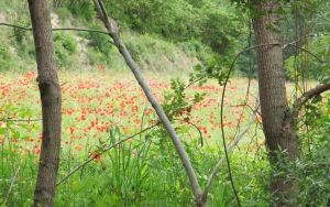 poppies in the almond field1 11-6-13