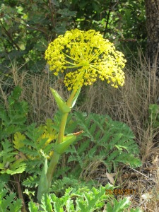 wild fennel in april2 28-4-11
