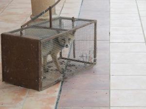 fox cub in the trampa 1-7-13