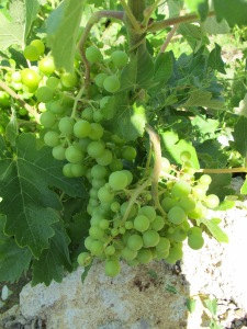 grapes in july1 4-7-13