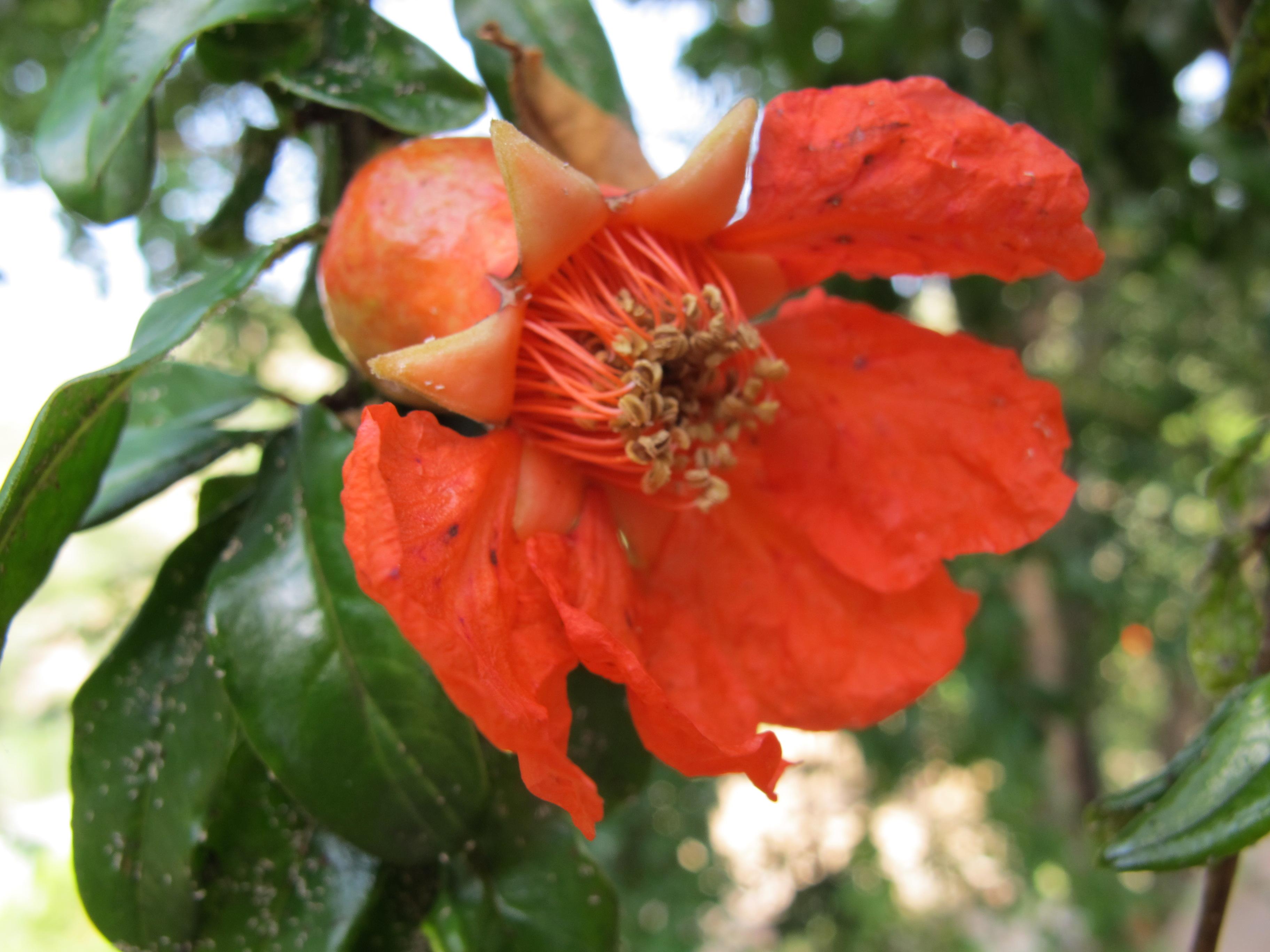 Цветок гранатовое дерево
