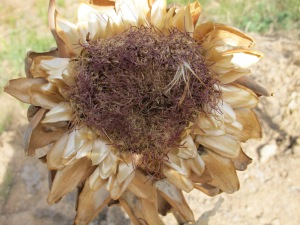 dried artichoke flower 5-8-13
