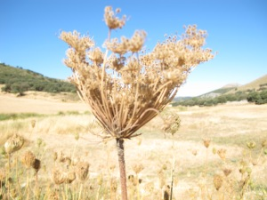dried seed head bleached out 29-7-13