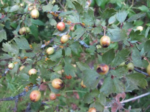 early hawthorne berries 25-8-13