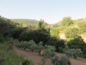 reclaimed olive grove 25-8-13 (2)