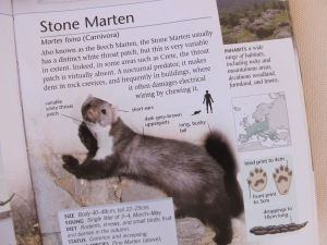 stone marten - Wild Animals book 14-8-13