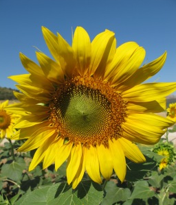 sunflower in july 25-7-11